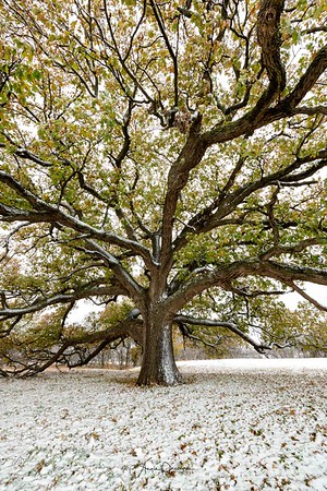 Lone Oak ~ November Winter Storm