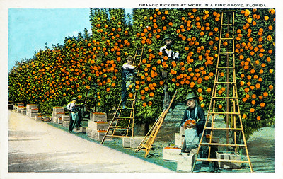 Orange Pickers at Work