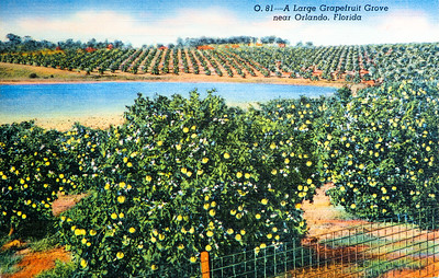 Large Grapefruit Grove