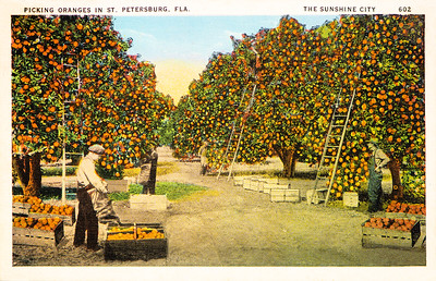 Picking Oranges in St. Petersburg, FL