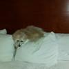 Coton de Tutelar, Oliver the dog.