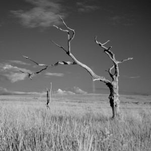 Dead Tree, Study 2, Isle of Islay, Scotland. 2012