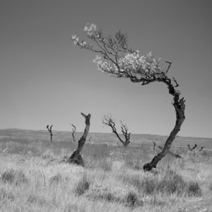 Dying Tree, Isle of Islay, Scotland. 2012