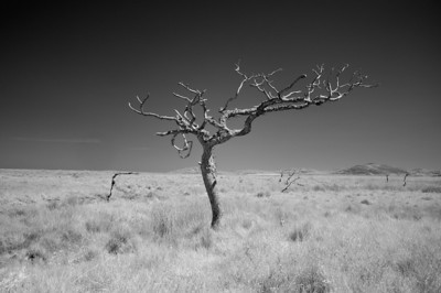 Dead Tree, Study 1, Isle of Islay, Scotland. 2012