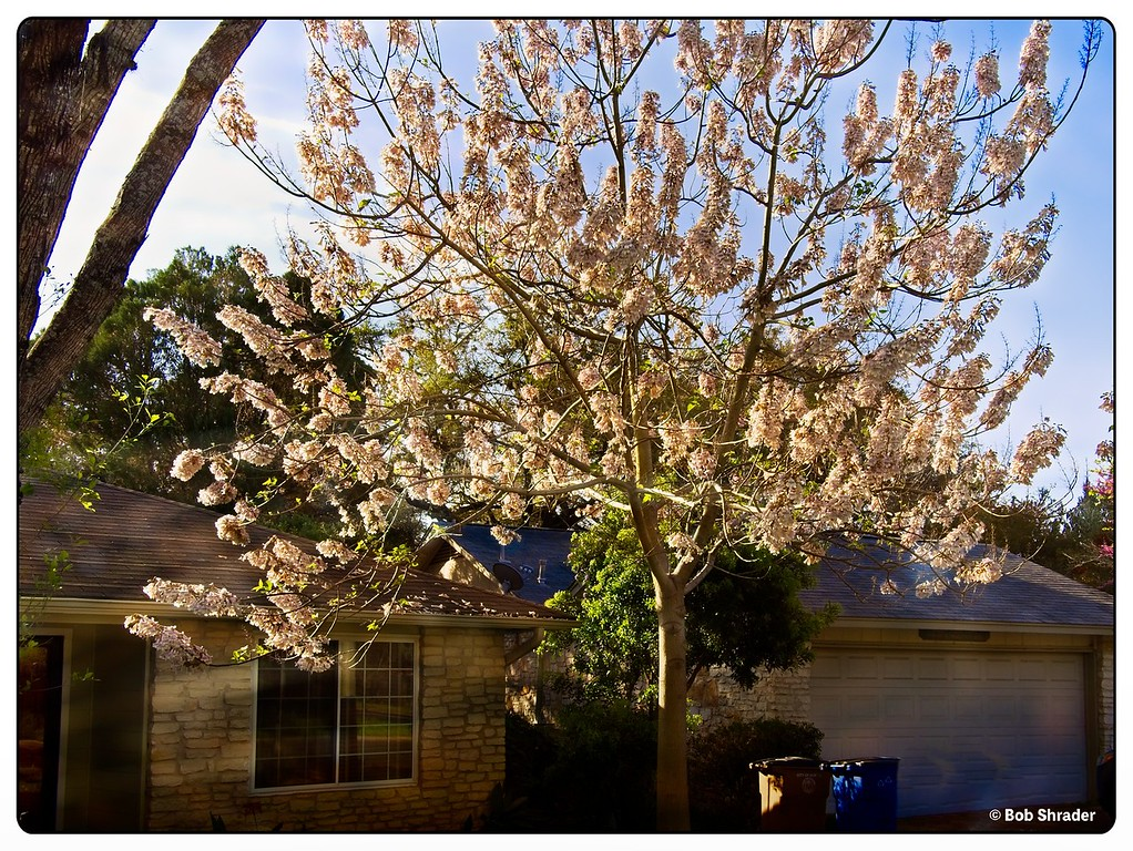 Tree in Spring Bloom