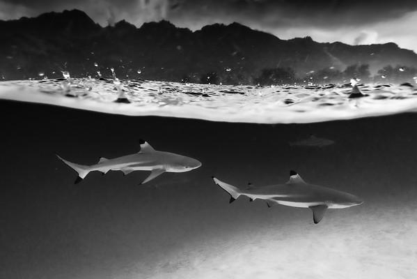 Shark Drops