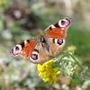 Butterfly - MT week 13th