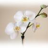 CS_Orchid