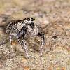 JRH_Jumping Spider 3_week8