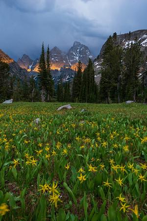 Glacier Lillies