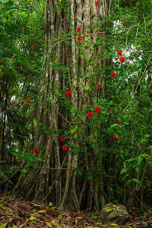 Hibiscus Vines