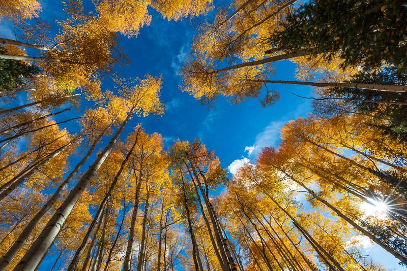 Ring of Aspen Trees