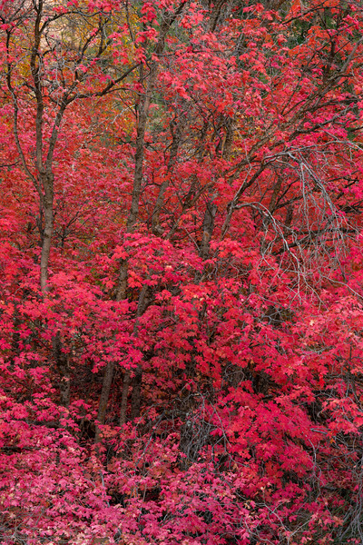 Red Canyon Maple