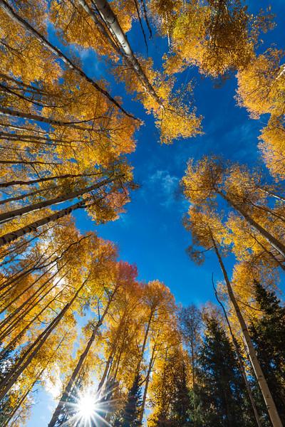 Ring of Aspen Trees II