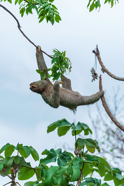 Hanging With Sloths