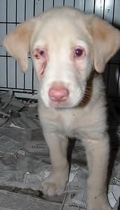 purebred entropian puppy 017