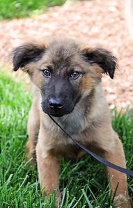 shep puppy 2 a