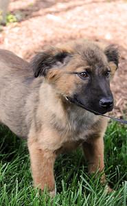 shep puppy 2 b