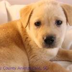Sheba puppy