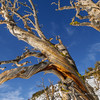White Bark Pine Snag