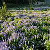 Lupine Meadow
