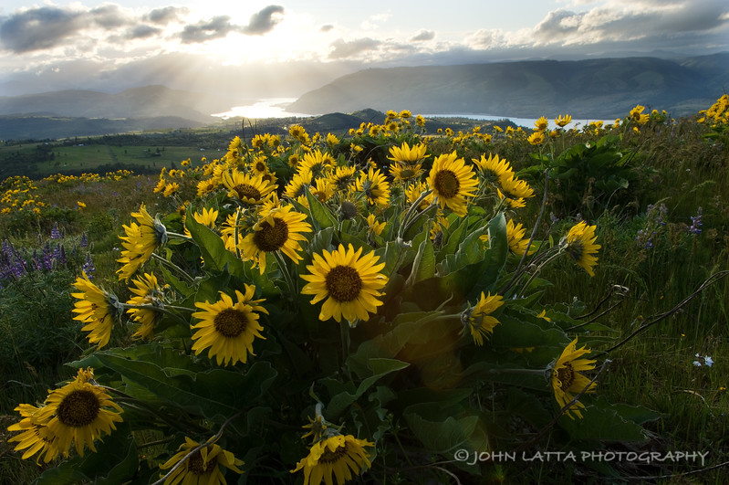 Balsamroot and Columbia River