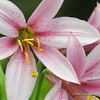 Washington Lily