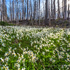 Avalanche Lilies in Burned Forest