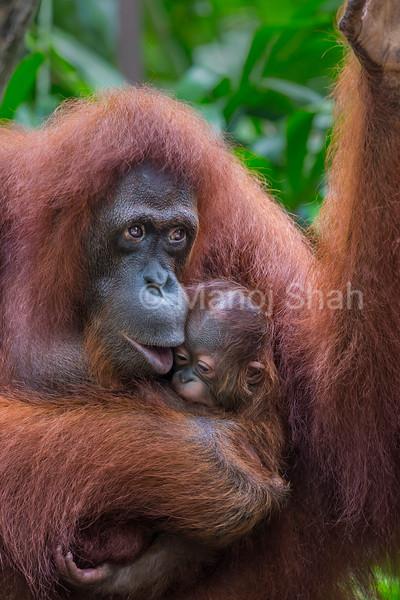 Sumatran Orang Utan baby being kissed by mother.