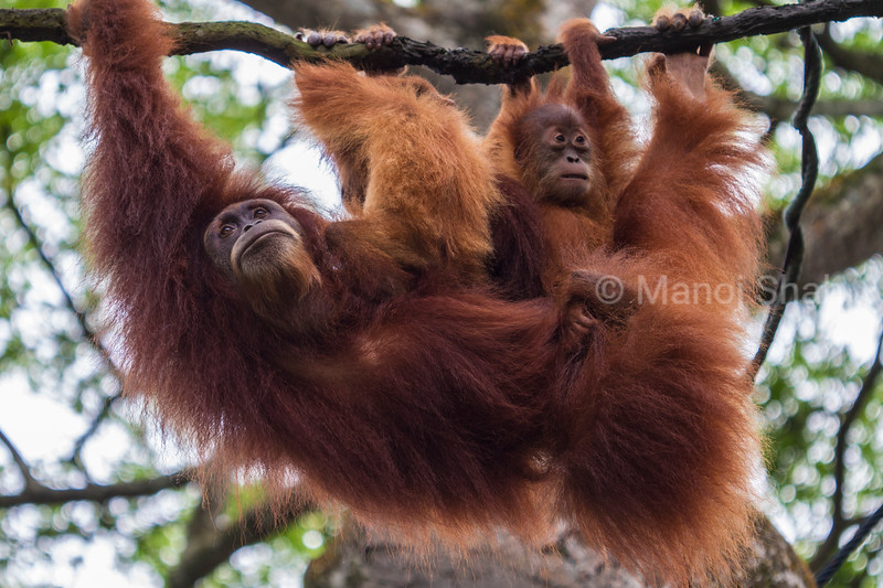 Bornean Orangutan youngsters with mother