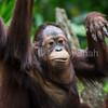 Bornean Orangutan youngster