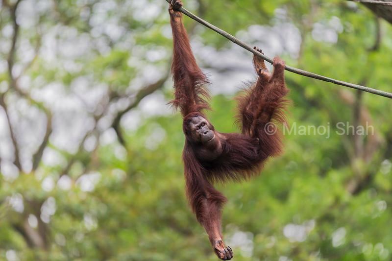 Sumatran Orang Utan hanging on a rope