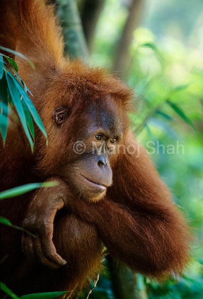 A sumatran Orang utan youngster thinking hard in Gunung Leuser Park.