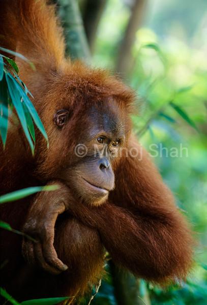 A sumatran Orang utan youngster thinking hard in Gunung Leuser Park.