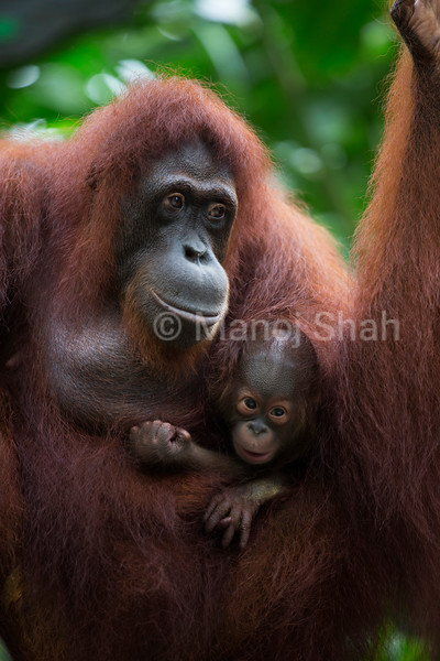 Orangutan baby cuddles up in mother's belly in indonesia