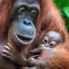 Sumatran Orang utan with baby - Indonesia