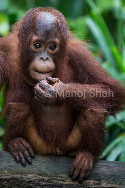 Male orang utan youngster