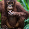 Male orang utan youngster