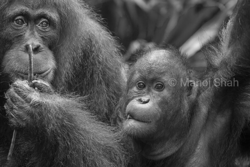 Sumatran Orang Utan youngster hanging to mother.