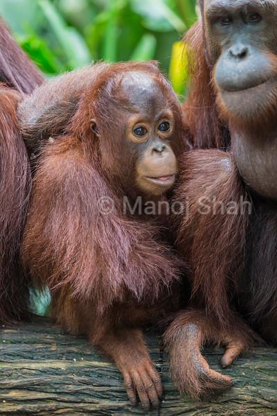 Sumatran Orang Utan youngster with mother.