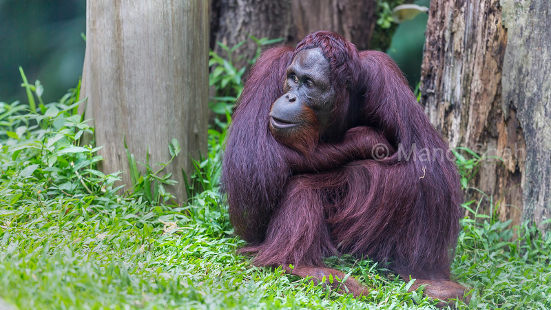 Bornean Orang Utan sitting under trees