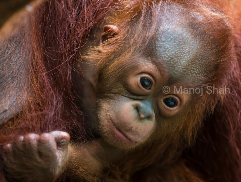 Sumatran orangutan baby clinging mother