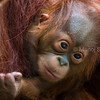 Sumatran orangutan baby clinging mother