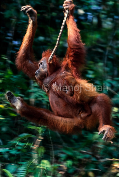 Sumatran female orangutan xwinging on a wine with her baby