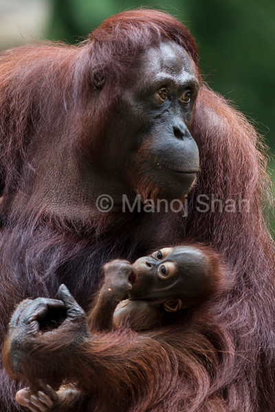 Bornean Orangutan mother with Baby