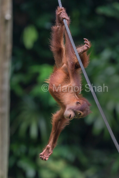 Sumatran Orang Utan hanging on a rope