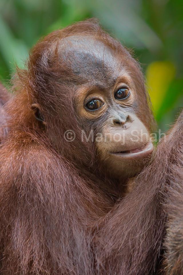 Sumatran Orang Utan youngster hanging to mother.