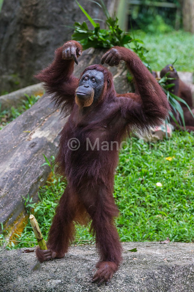 Sumatran Orangutan happy with sugarcane held in his leg,
