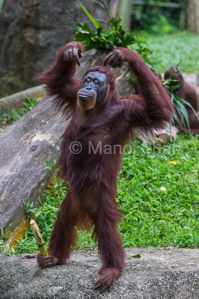 Sumatran Orangutan happy with sugarcane held in his leg,