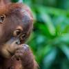 Bornean orangutan youngster - Malaysia